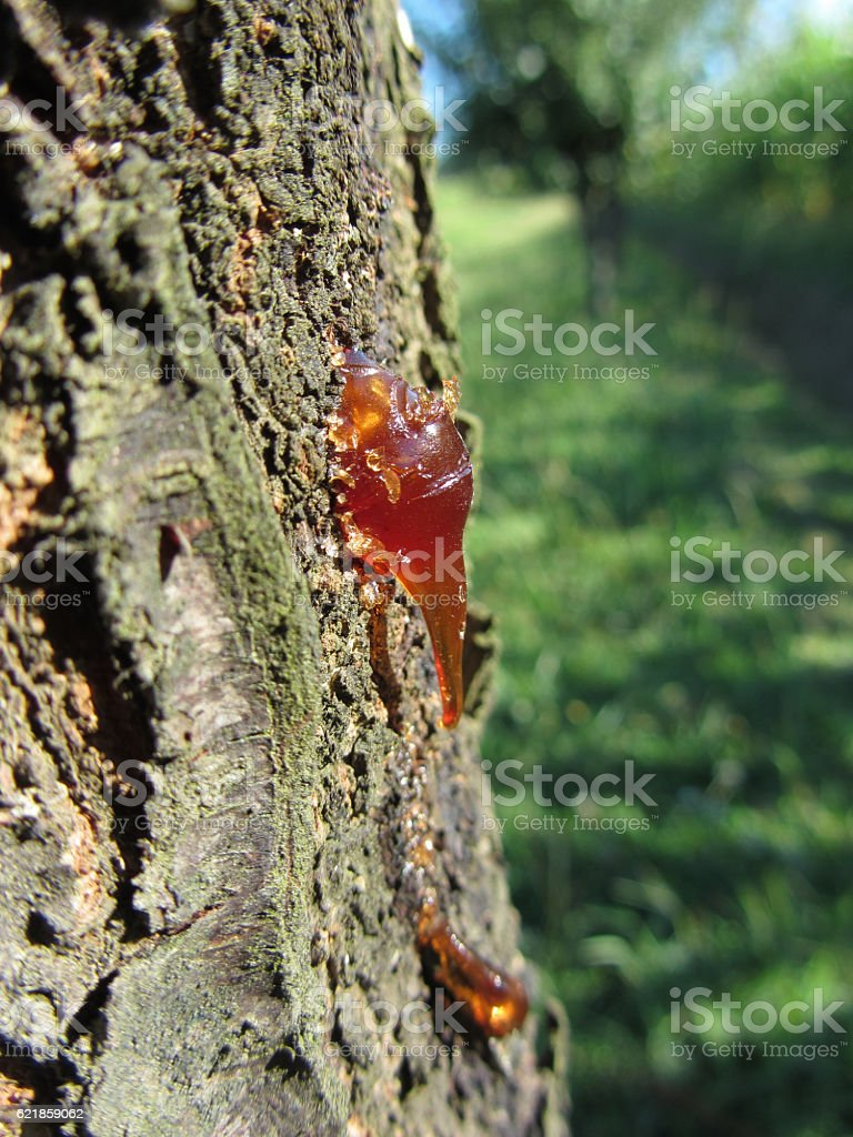 Closeup of pear tree excretion of gummy resin stock photo