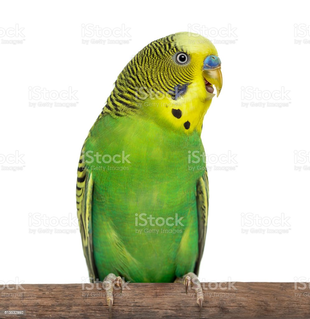 Close-up of Perched Budgie with beak open on white background stock photo