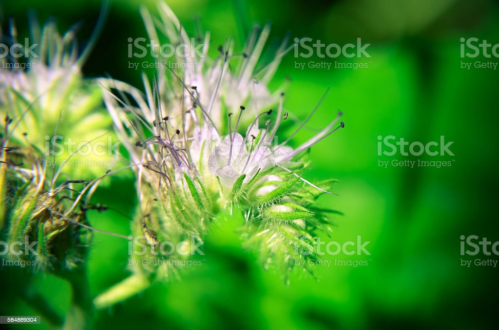 Close-up of phacelia flower tanacetifolia and humble bee collects nectar stock photo