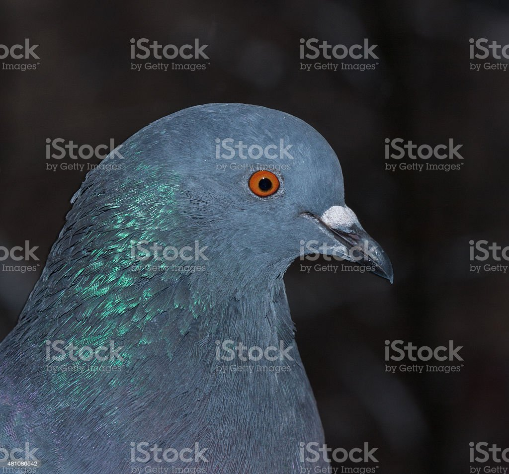 Close-up of pigeon stock photo