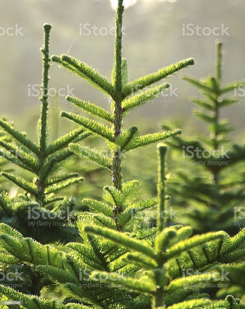Close-up of pine fir trees growing outdoors royalty-free stock photo