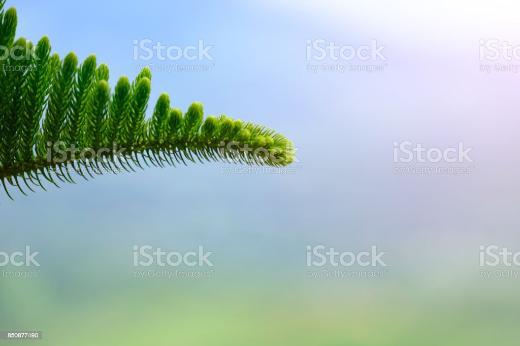 Close-up of Pine(genus Pinus, of the family Pinaceae) from Khao Kho stock photo