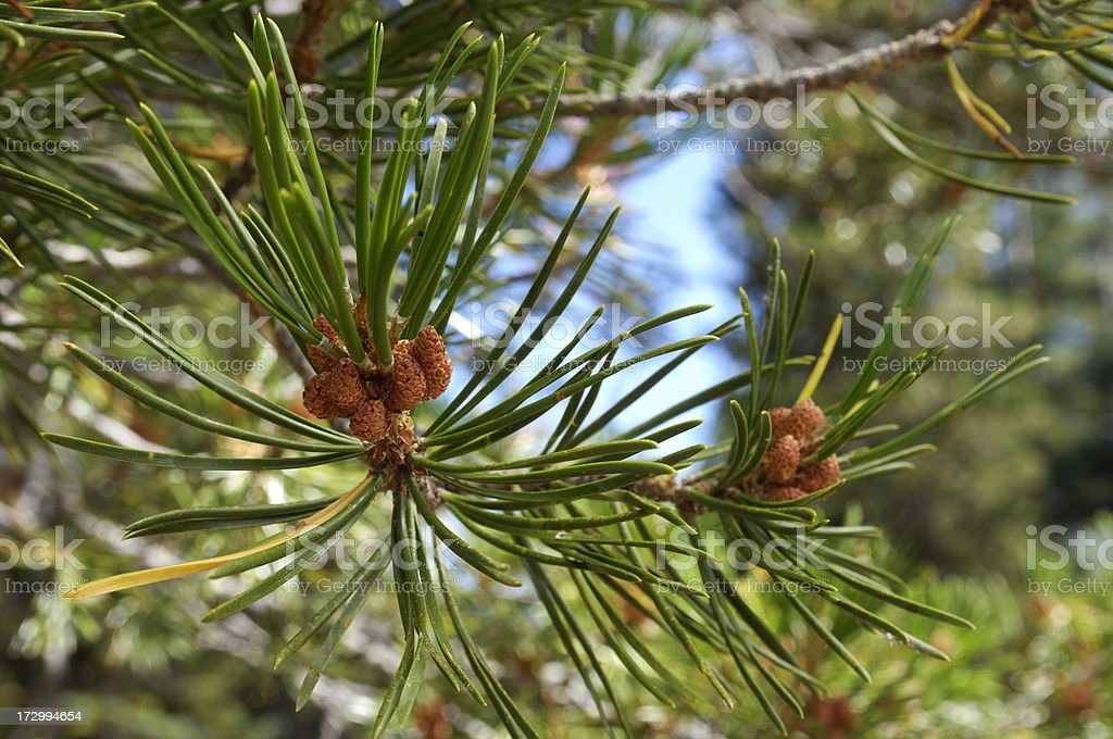 Close-up of Pine Needles royalty-free stock photo