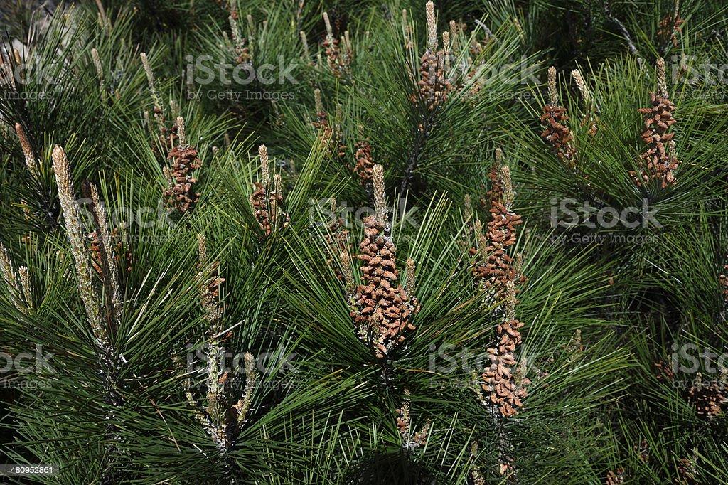 Close-up of Pine Needles stock photo