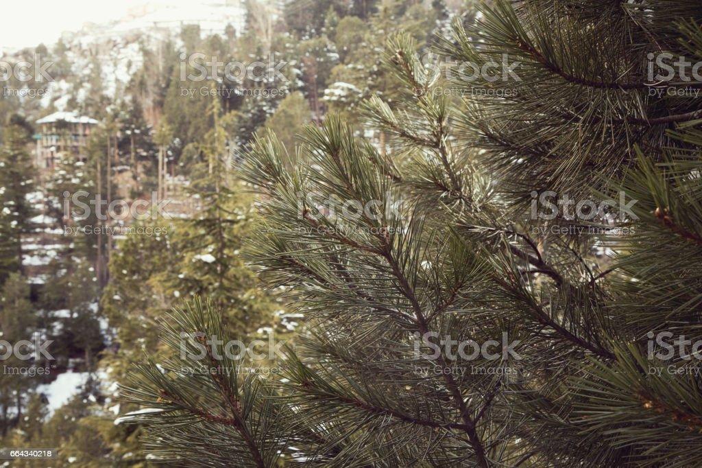Close-up of pine tree stock photo