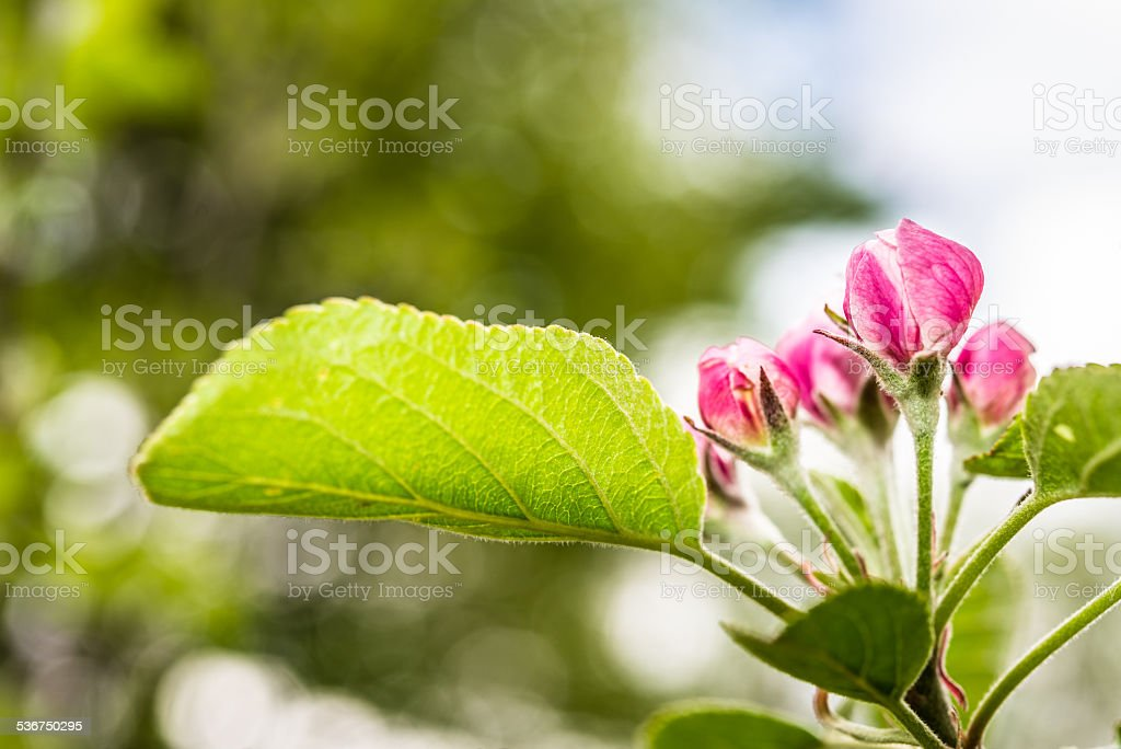 Close-up of pink Apple Blossom with Bokeh Background stock photo
