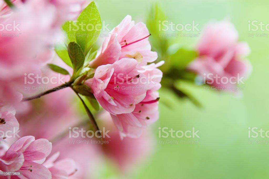 Close-up of pink azaleas on a bush stock photo