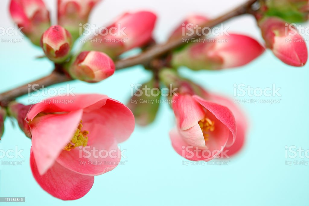 Close-up of Pink Blossom royalty-free stock photo