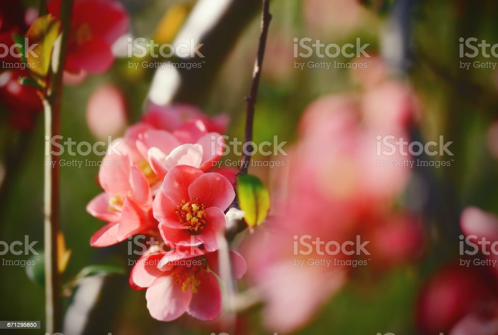 close-up of pink chaenomeles in flower stock photo