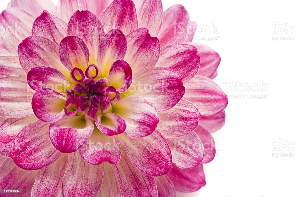 Close-up of pink dahlia royalty-free stock photo