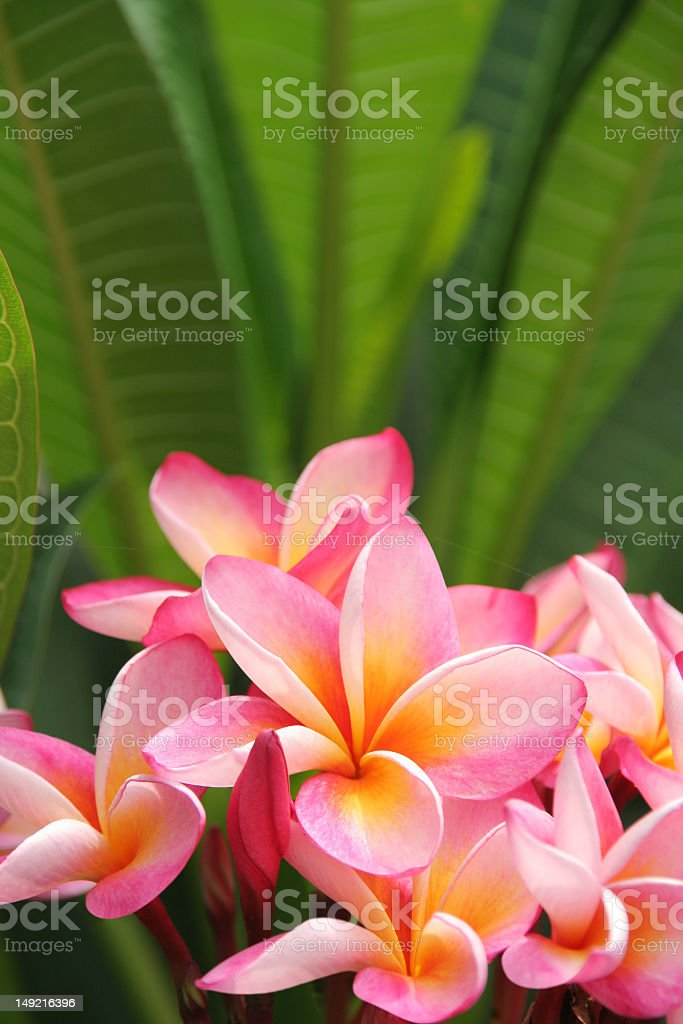 Close-up of pink frangipani plant and green leaves stock photo