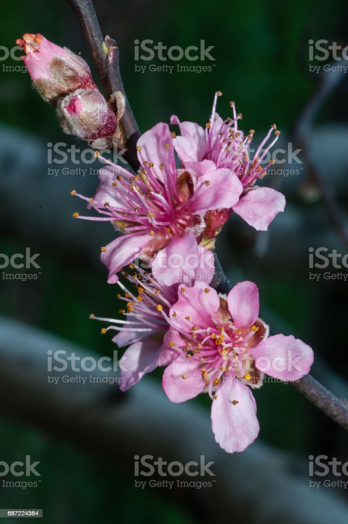 Close-up of pink fruit tree blossoms. stock photo
