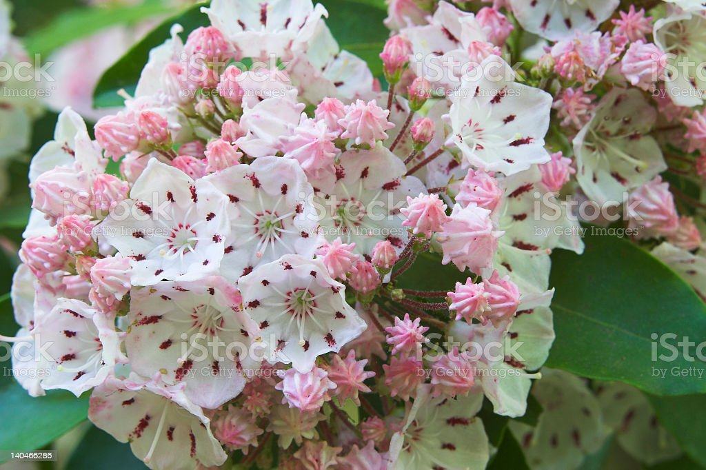 Close-up of pink mountain laurel flowers stock photo