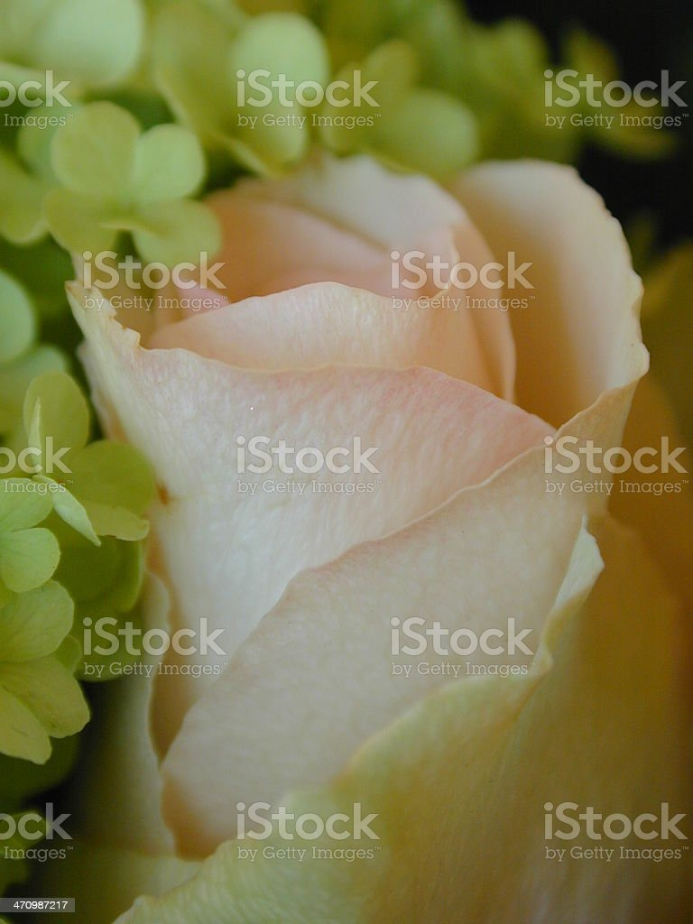 close-up of pink rose royalty-free stock photo