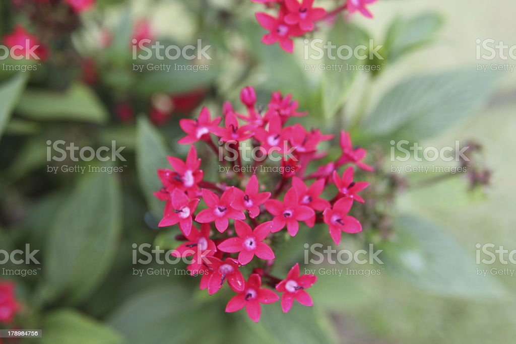 Close-up of Pink Small Flowers royalty-free stock photo