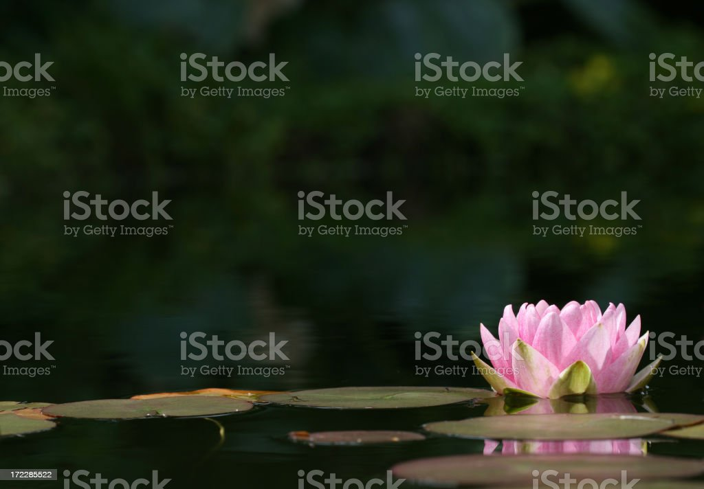 Pink Water Lily close-up with copy space stock photo
