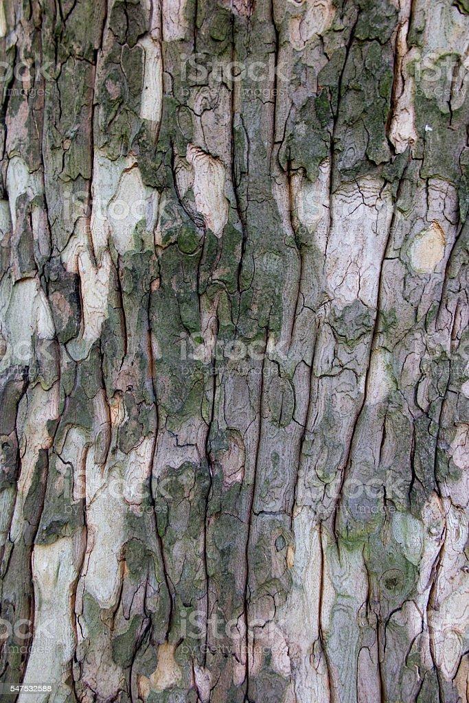 closeup of plane tree bark stock photo