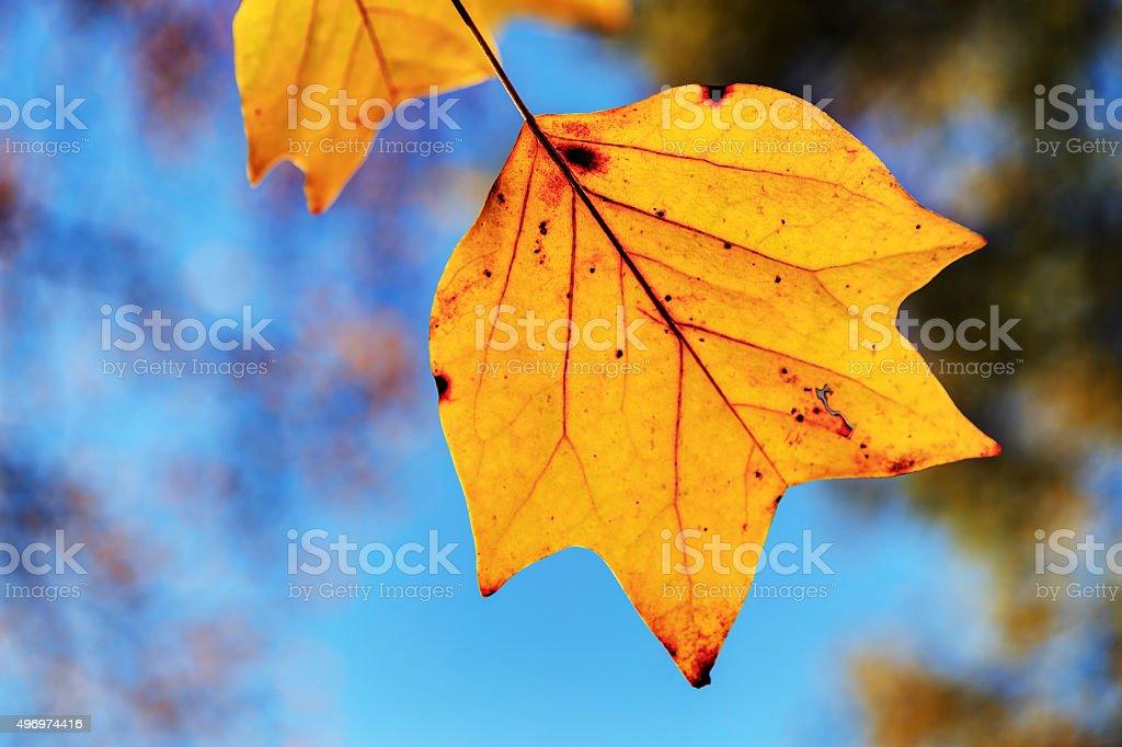 closeup of platan (plane) leaves in late autumn stock photo