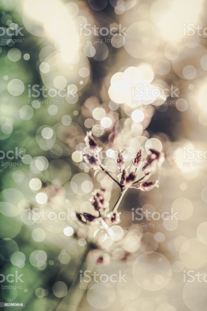 Closeup of  poaceae with dew on blurred bokeh background. stock photo