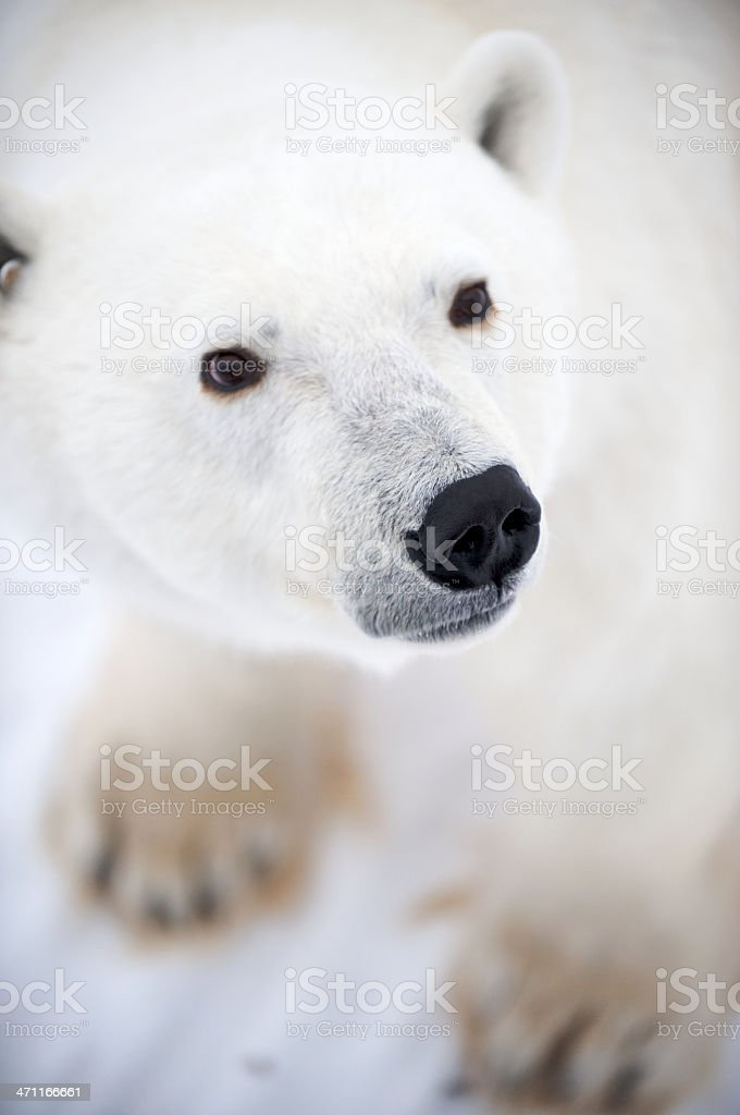 Close-Up of Polar Bear Face with Front Paws stock photo