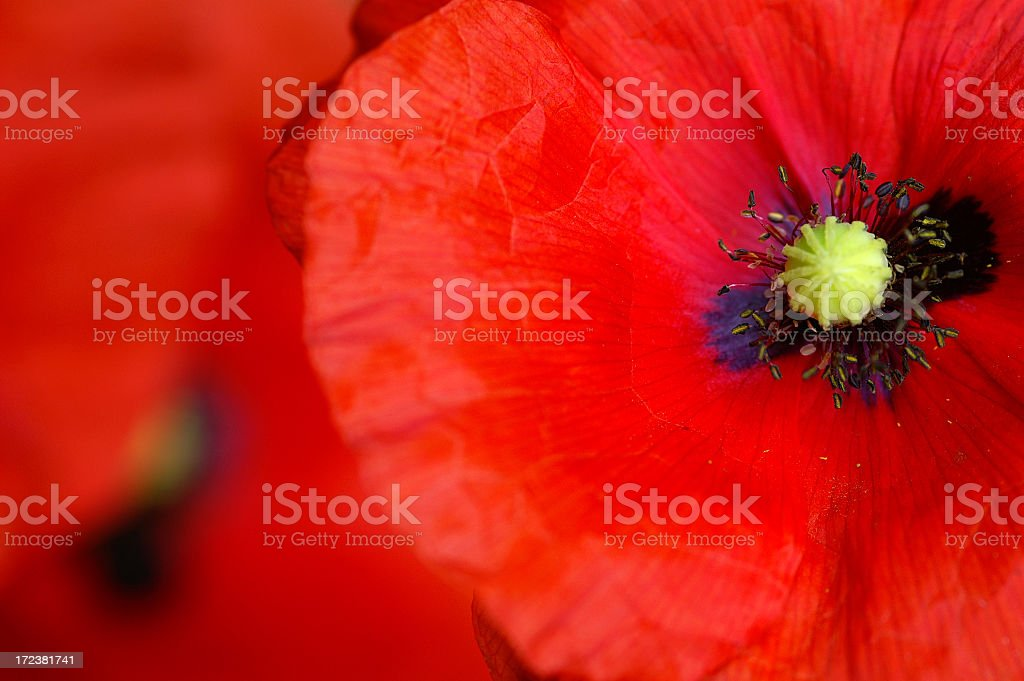 Close-up of Poppy flower center royalty-free stock photo