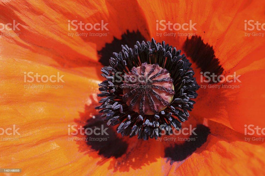 Closeup of poppy. royalty-free stock photo