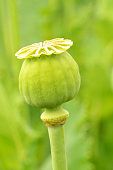Close-up of poppyhead