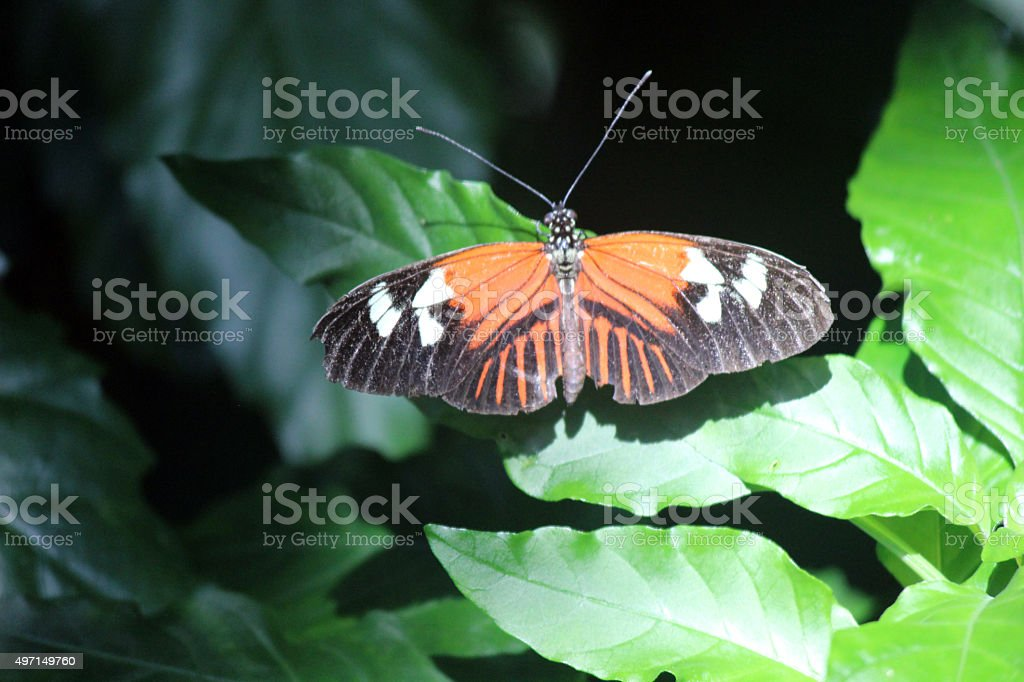 Close-up of Postman Longwing Butterfly Perched on Leaves stock photo