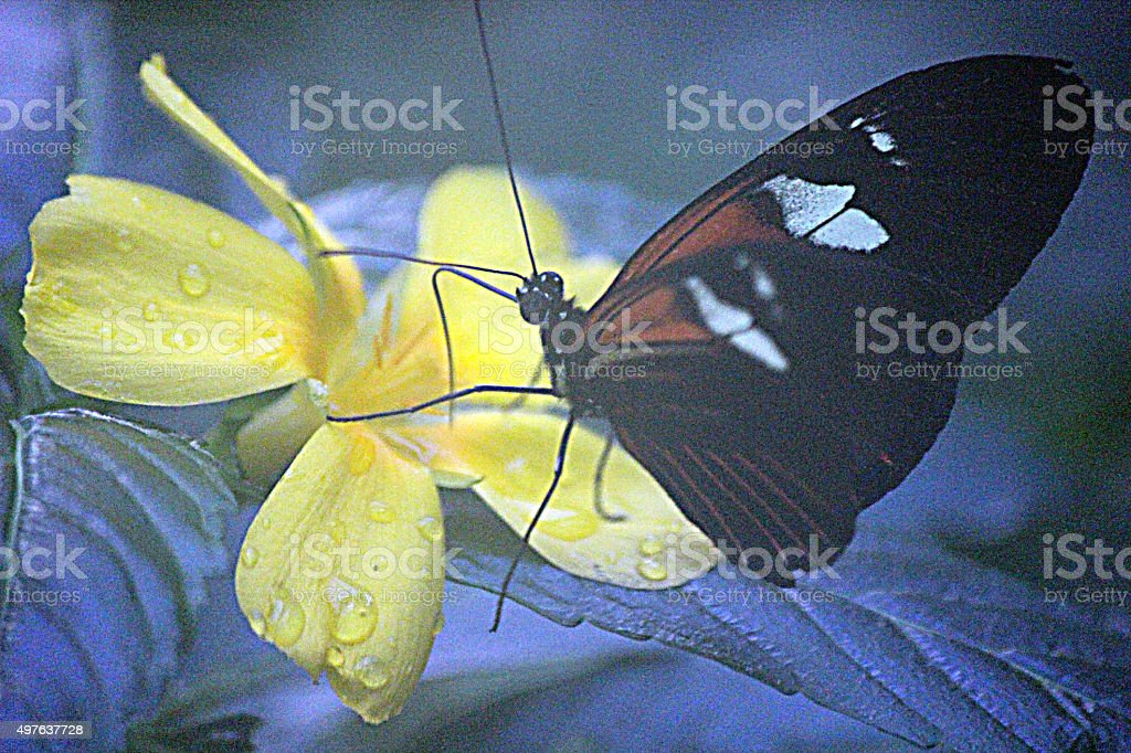 Close-up of Postman Longwing Butterfly Probing Yellow Flower stock photo