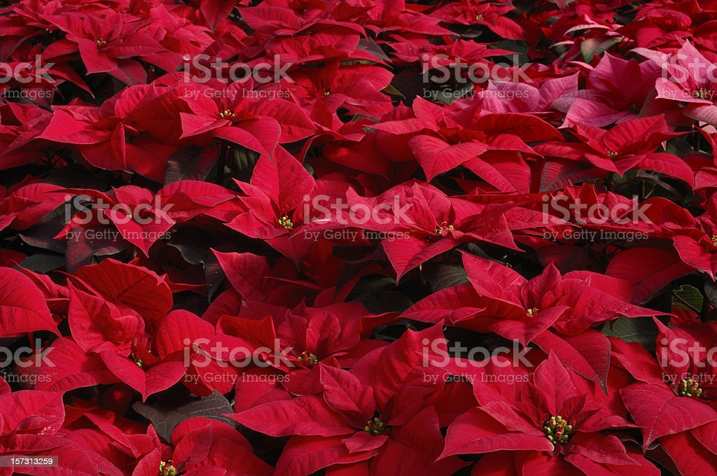 Close-up of Potted Red Poinsettias Growing in Greenhouse royalty-free stock photo