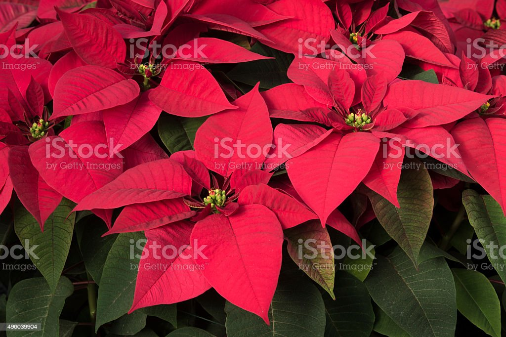 Close-up of Potted Red Poinsettias Growing in Greenhouse stock photo