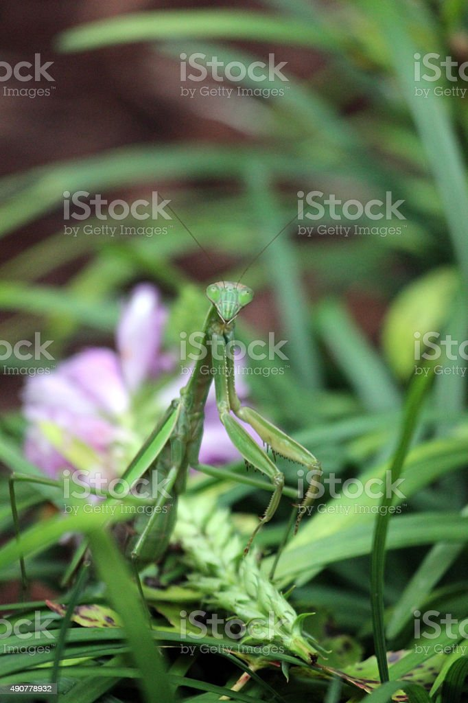 Close-up of Praying Mantis Reared Up in Garden stock photo