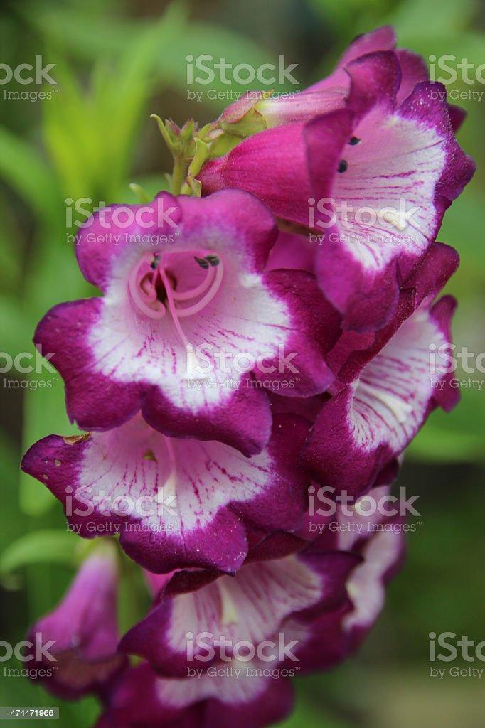 Primer plano de la hermosa Rosa y blanco flores foto de stock libre de derechos