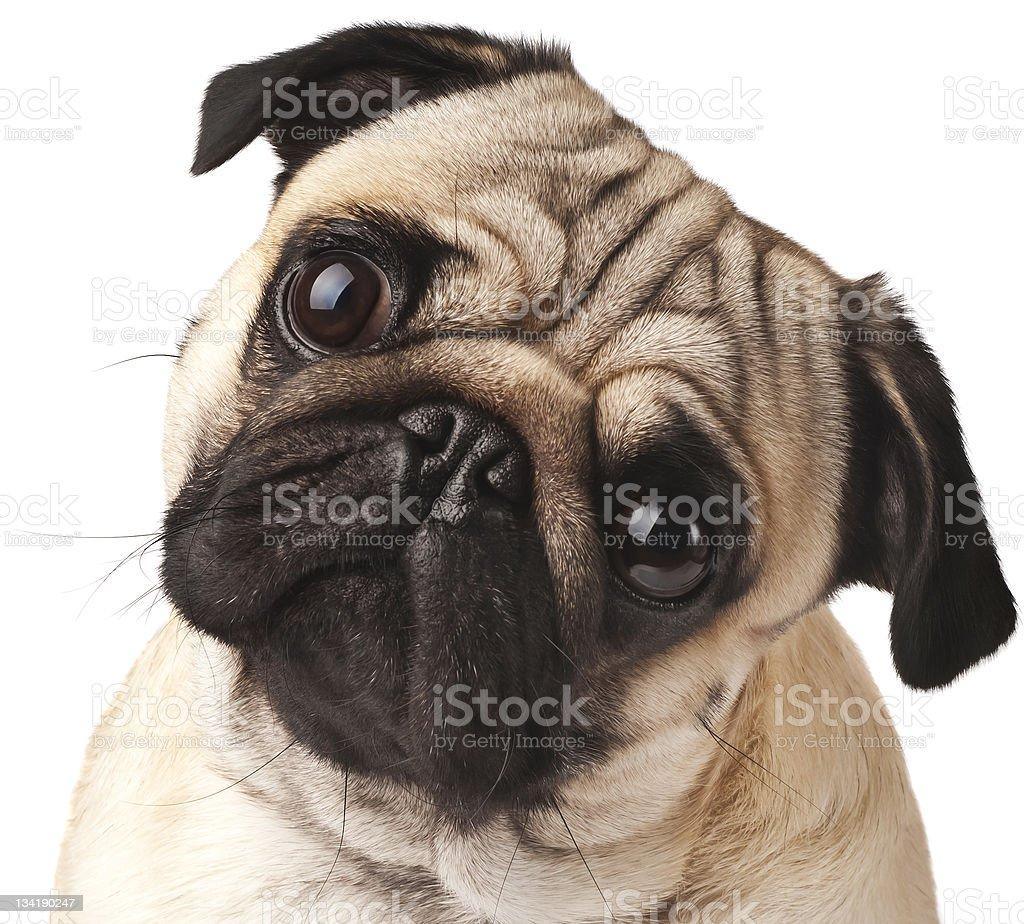Close-up of Pug stock photo