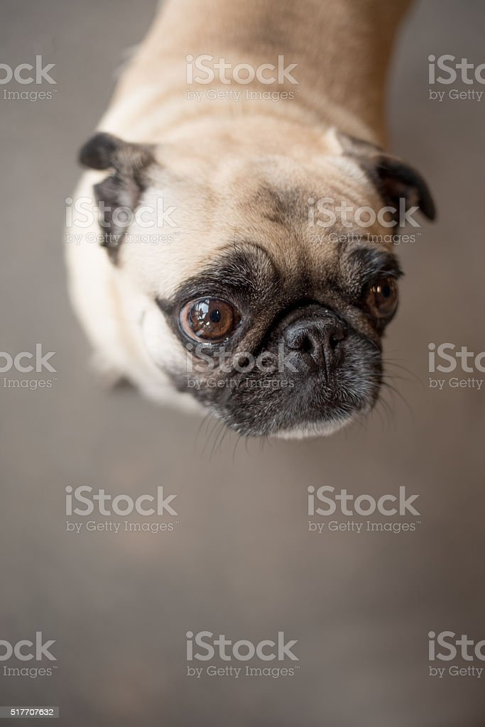 Closeup of Pug's Face on Grey Isolation stock photo