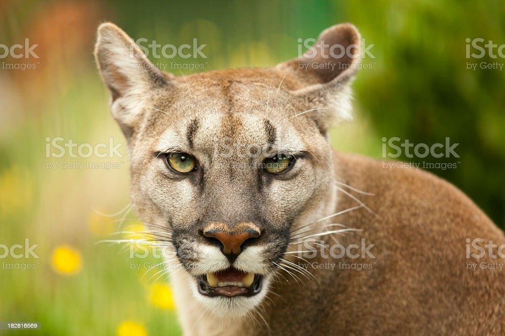 Closeup of puma staring and baring its teeth stock photo