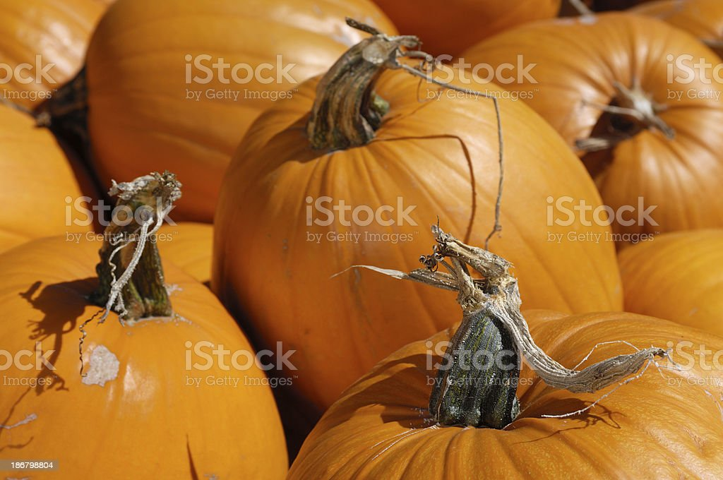 Close-up of Pumpkins on Rural Pumpkin Patch at Harvest Time royalty-free stock photo