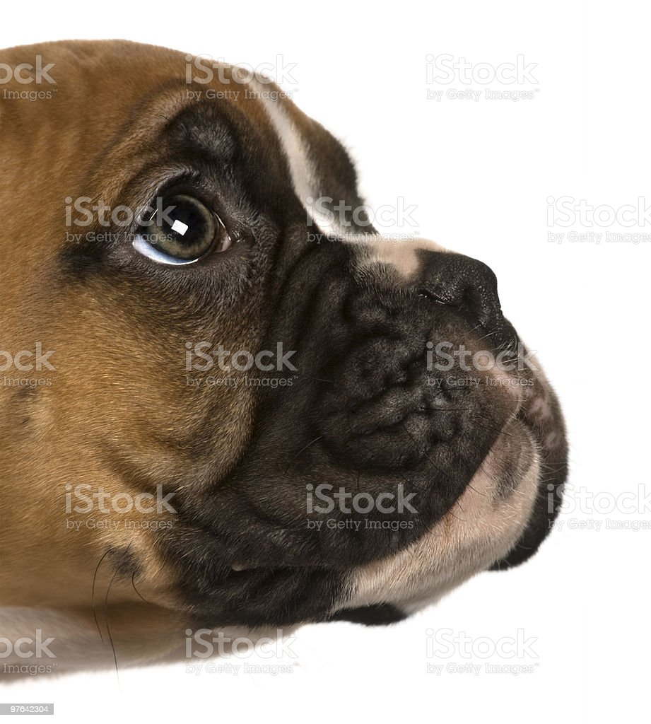 Close-up of Puppy Boxer looking up royalty-free stock photo