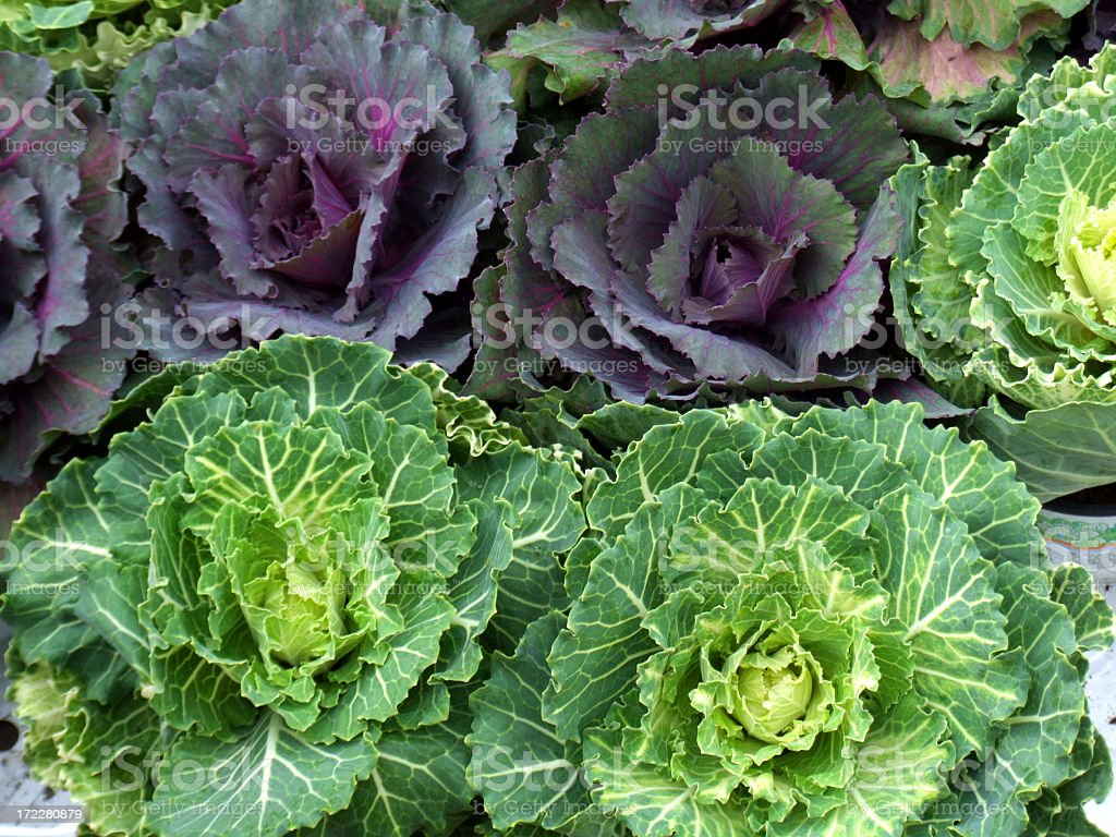 Close-up of purple and green cabbages stock photo