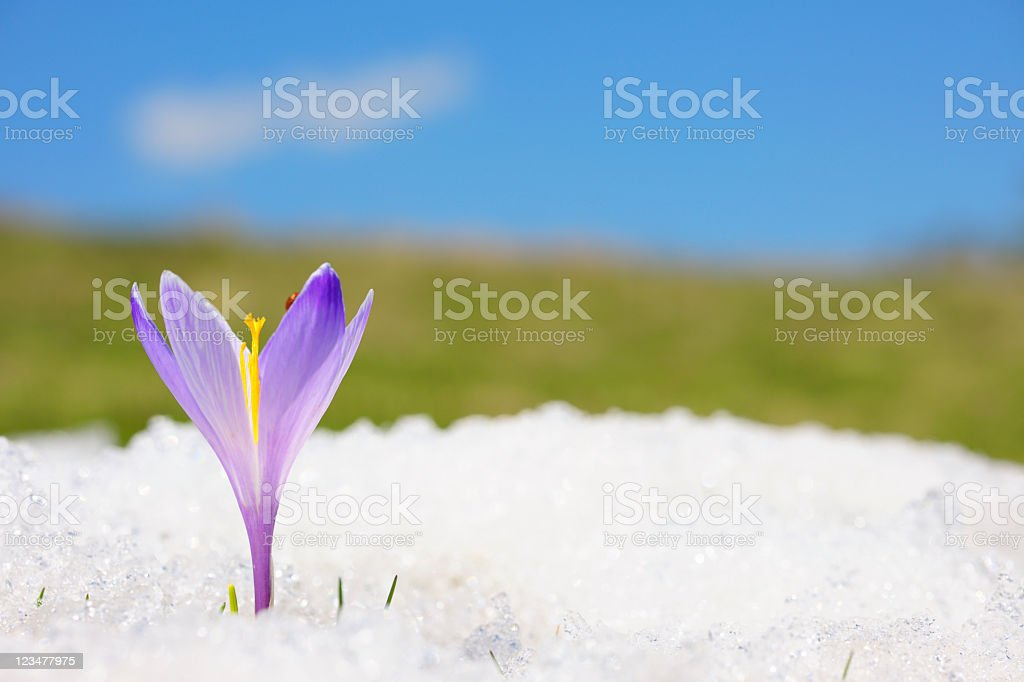 Close-up of purple crocus in snow stock photo