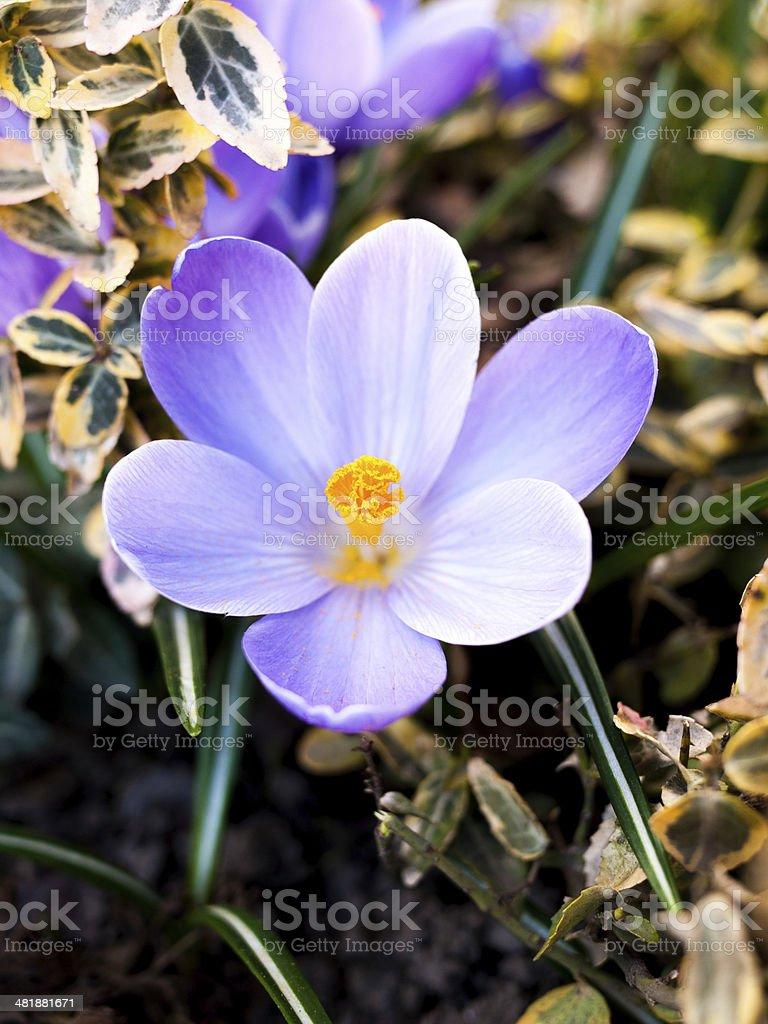 Closeup of purple crocus in the spring stock photo