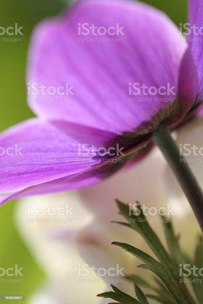 Close-up of purple Flower royalty-free stock photo