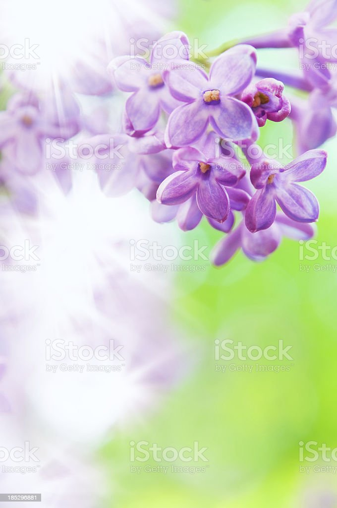 Close-up of purple lilac flowers royalty-free stock photo