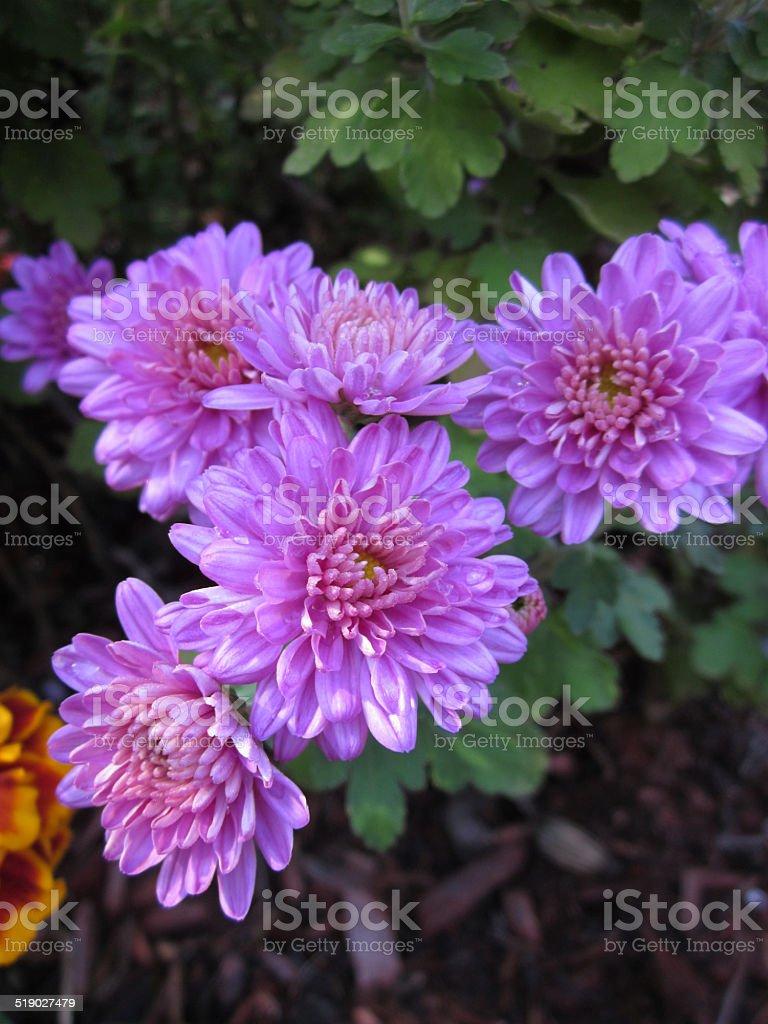 Closeup of Purple Mums stock photo