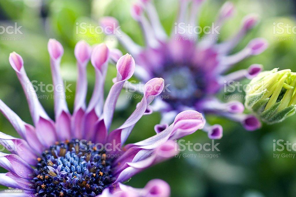 Close-up of Purple Osteospermum Daisy royalty-free stock photo