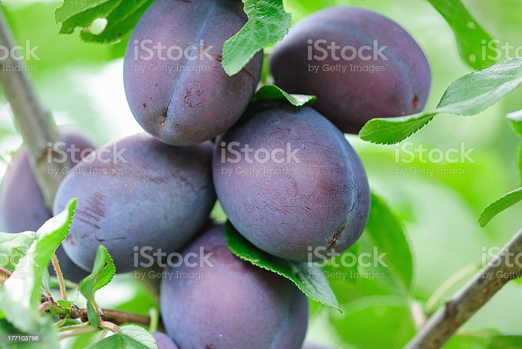 Close-up of purple plums on a branch stock photo