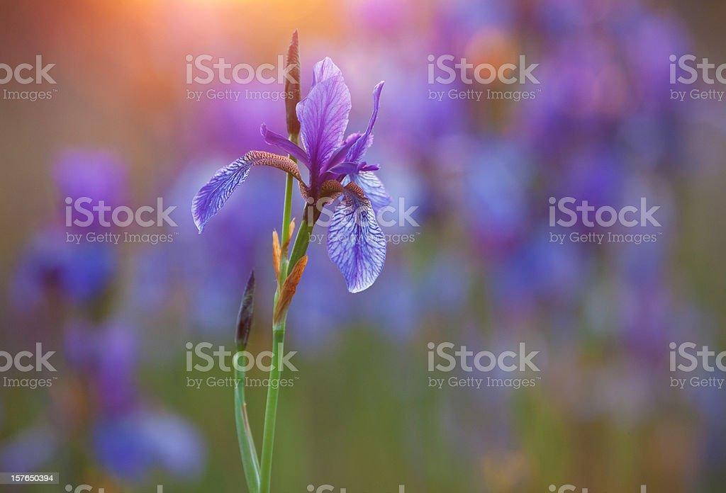 Close-up of purple Siberian iris with low light stock photo