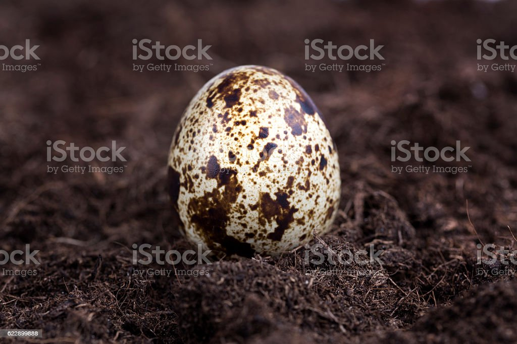 Close-up of quail egg stock photo