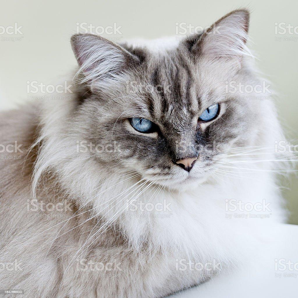 Close-up of Ragdoll Cat royalty-free stock photo