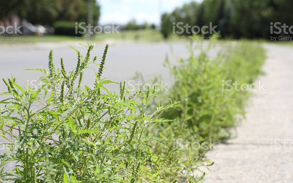 Close-up of ragweed in suburban street crack stock photo